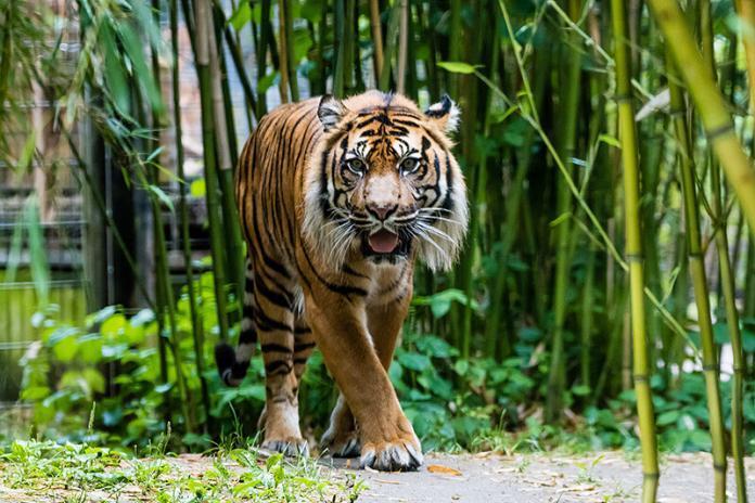 Ein Tiger im Heidelberger Zoo